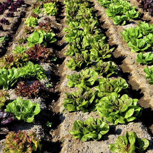 Repiquer des salades