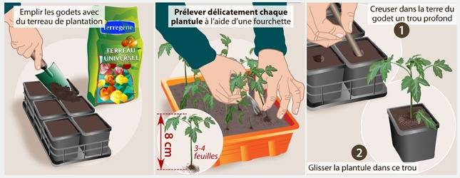 comment repiquer les tomates