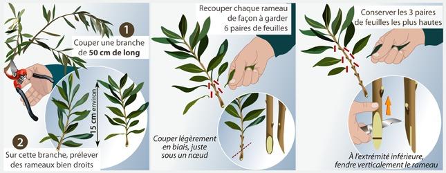 Comment bouturer un olivier - Periode de taille olivier ...
