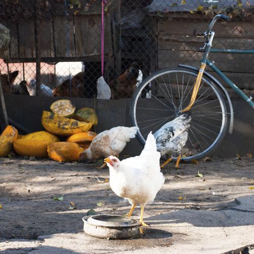 Réaliser un enclos pour les poules