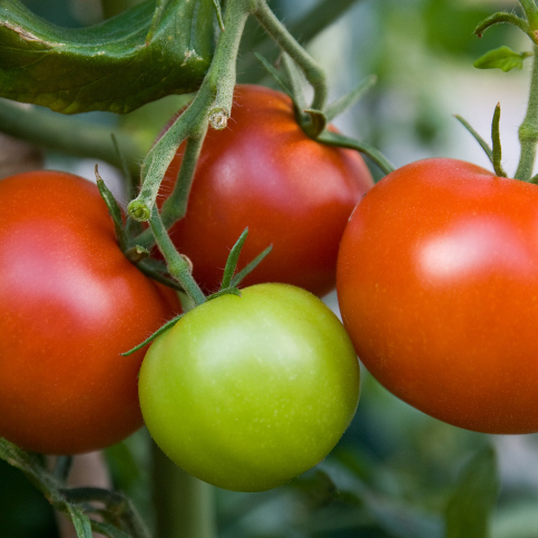 Pincer les tomates