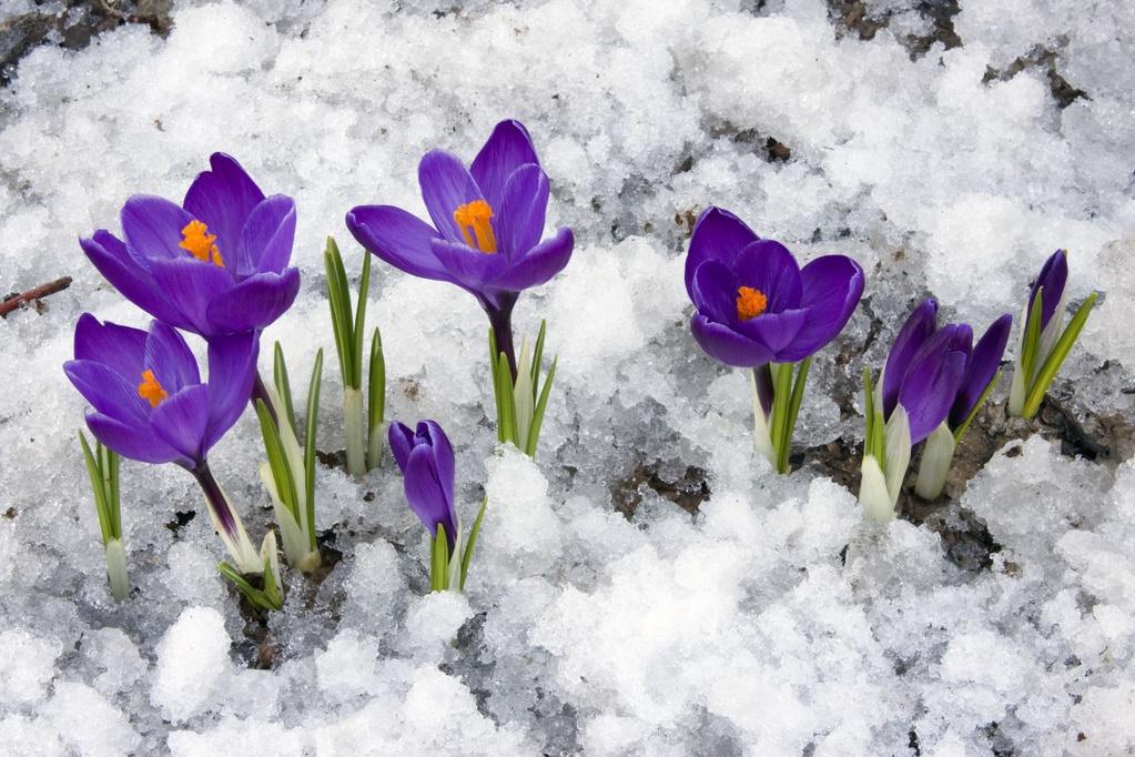 Bulbes d 39 hiver liste ooreka - Saint de glace 2018 ...