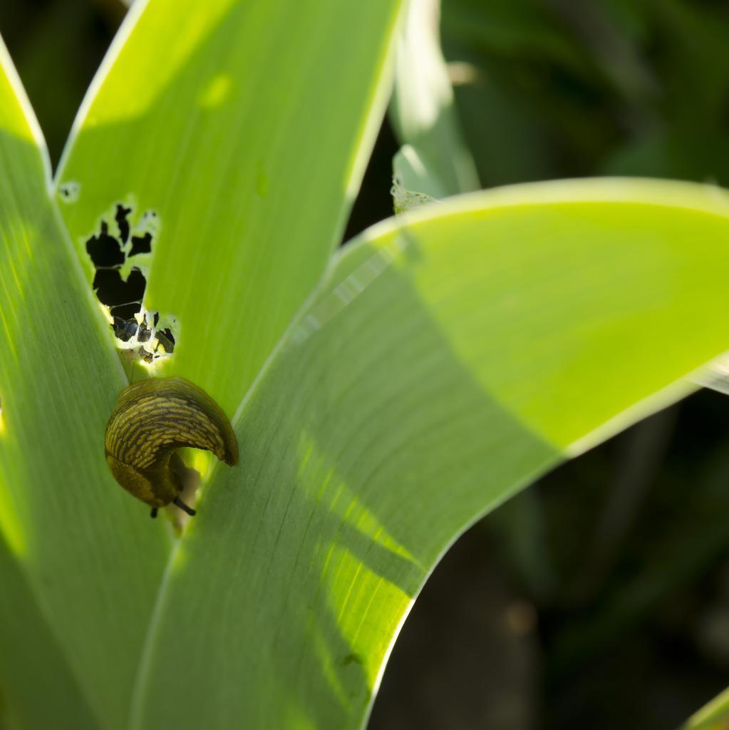 Les plantes anti-limaces