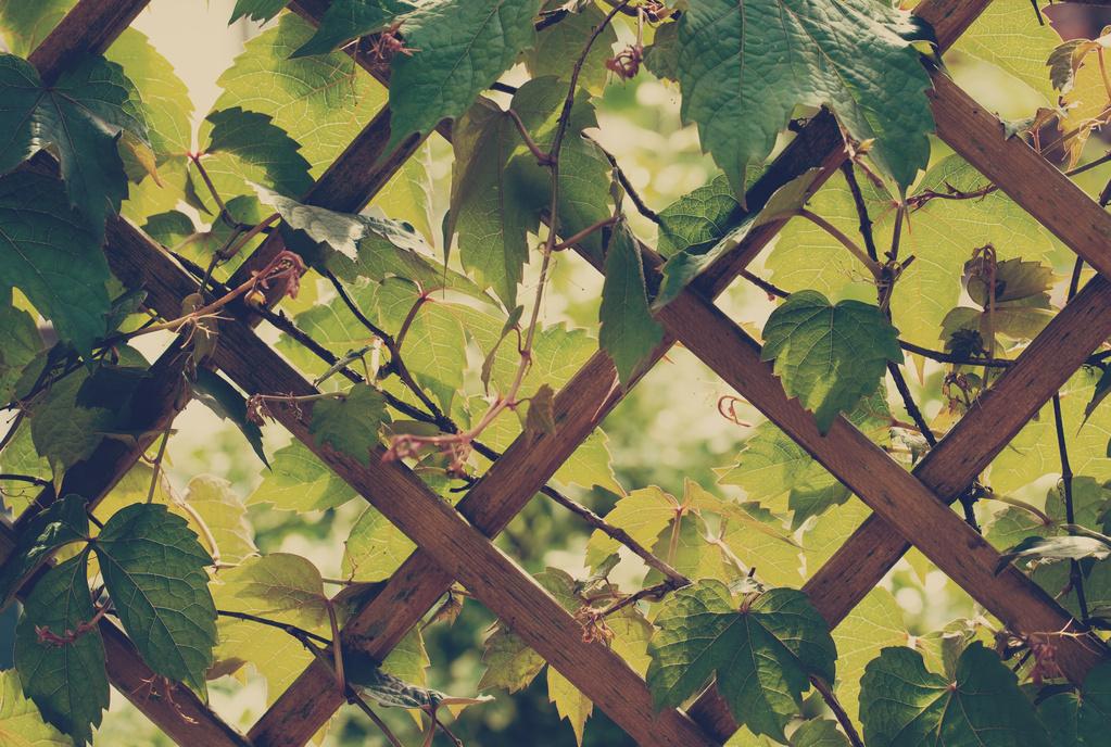 plante grimpante vigne