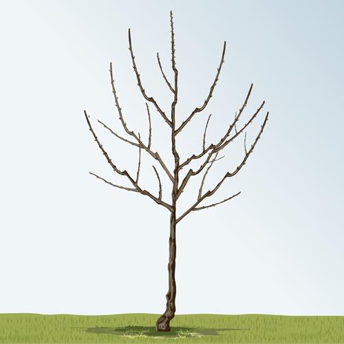 Donner une forme en fuseau à un arbre