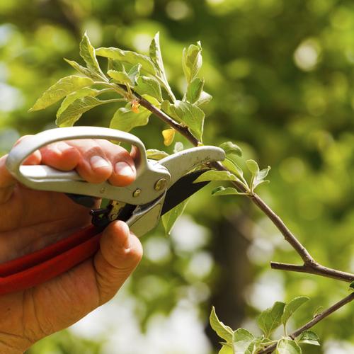 Taille d'accompagnement pour un arbre