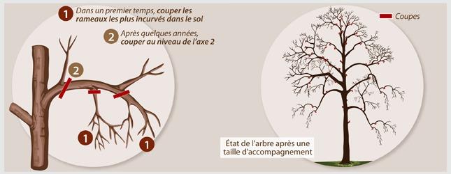 Taille d accompagnement pour un arbre for Prix de l elagage d un arbre