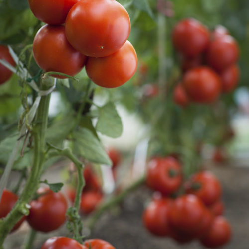 Tailler les tomates