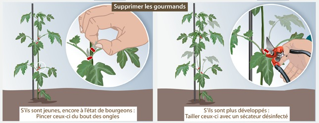 Tailler les tomates ooreka - Tailler plant de tomate ...