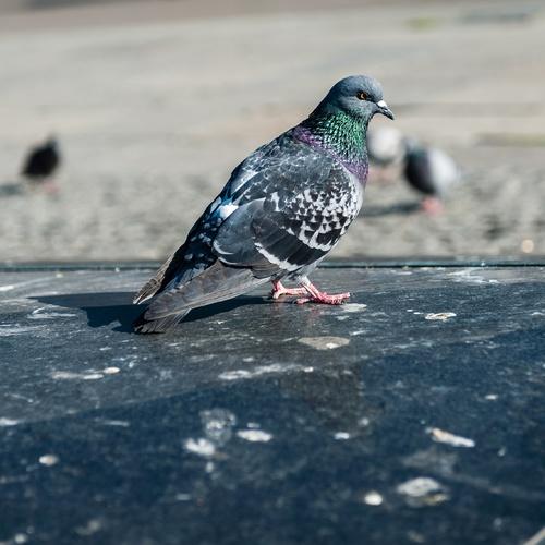 Repousser les pigeons