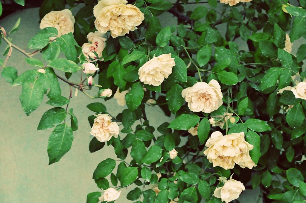 Arbuste floraison automnale liste ooreka - Arbuste a floraison hivernale ...