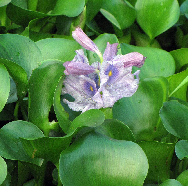 plante aquatique a fleur