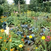 Associer fleurs et l gumes au potager ooreka - Association de legumes au potager ...
