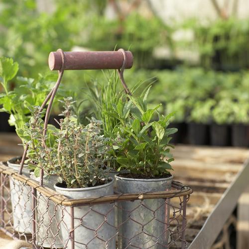 Cultiver des plantes aromatiques en pot