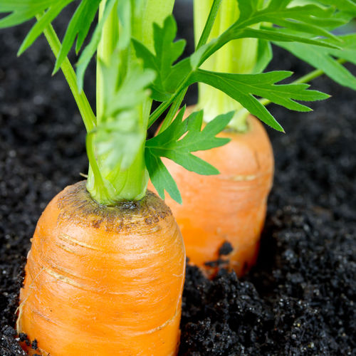 Comment repiquer des carottes