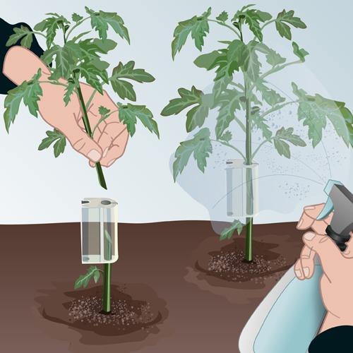 Comment greffer des tomates
