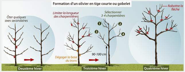 Comment tailler un olivier ooreka - Quand couper un olivier ...