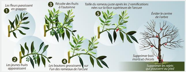 Comment tailler un olivier ooreka - Periode de taille d un olivier ...