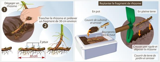 Planter rhizome bambou