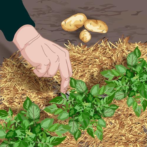 Cultiver les pommes de terre sous paille