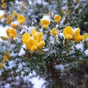 arbuste persistant fleuri hiver