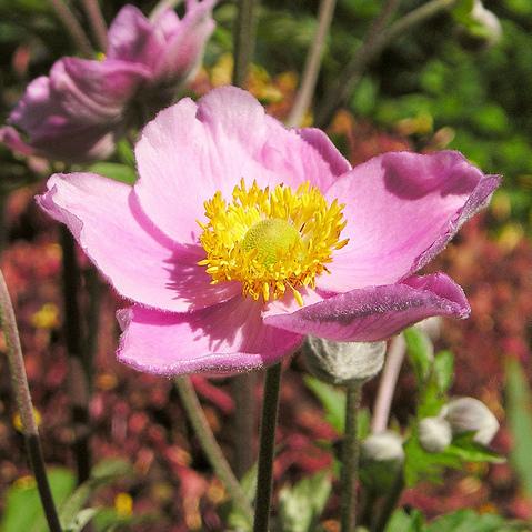 fleur rose : liste - ooreka