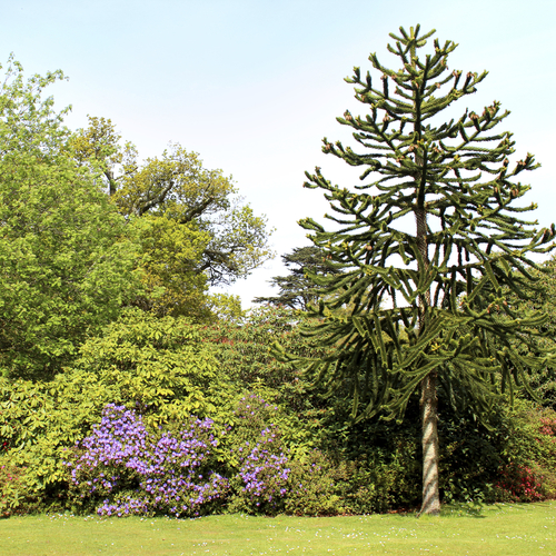 Arbre feuillage persistant liste ooreka for Arbre de jardin pour ombre