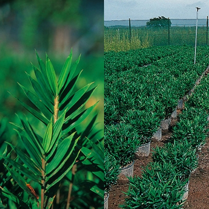 Quel bambou en int rieur liste ooreka - Quel terreau pour bambou ...