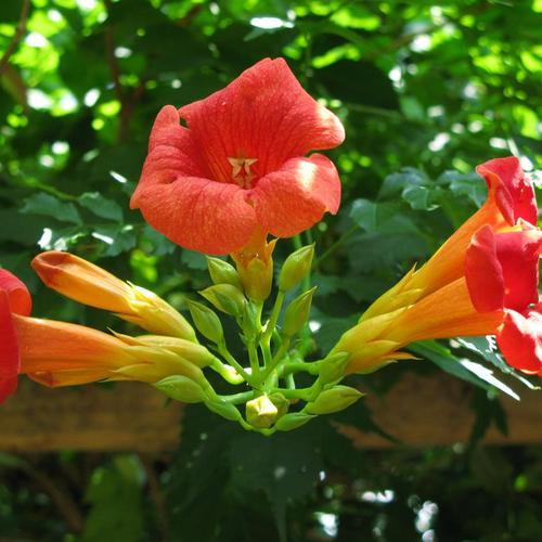 plante grimpante a fleurs rouges
