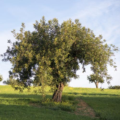 Arbre feuillage persistant liste ooreka for Arbres a feuilles persistantes