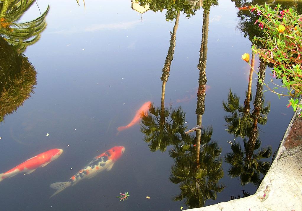 Bassin carpe ko installation qualit de l 39 eau achat for Poisson carpe koi prix