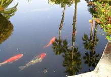 Poissons vs moustiques : un combat sans pitié dans la piscine