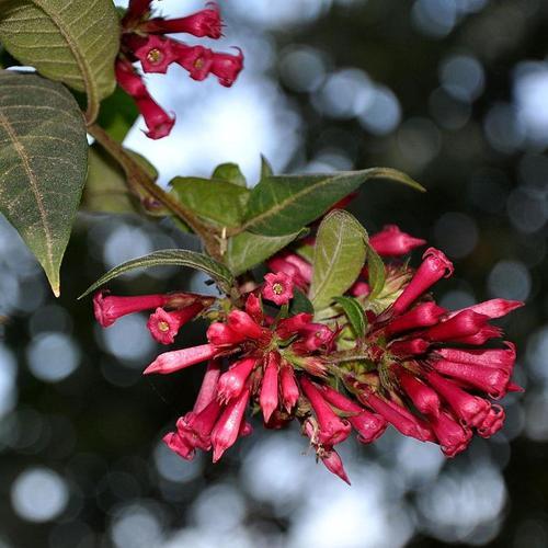 Arbuste A Fleurs Rouges Liste Ooreka
