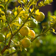 Traiter un citronnier malade