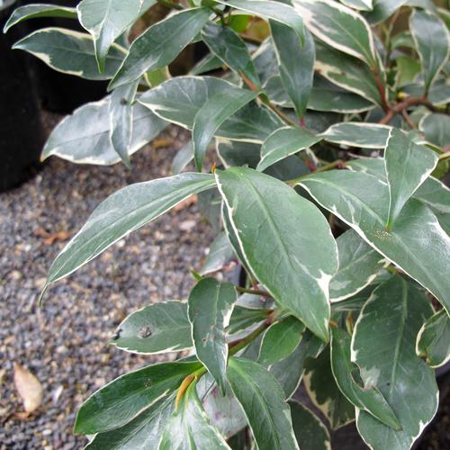 Arbuste d 39 int rieur liste ooreka for Plante decorative jardin