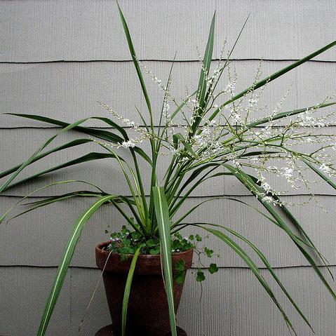 Plante appartement liste ooreka - Cordyline feuilles qui jaunissent ...