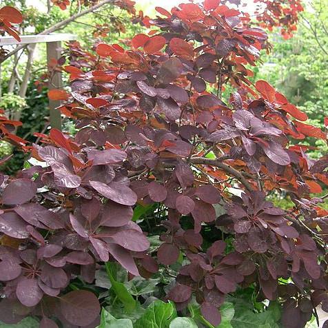 Arbuste rouge liste ooreka - Arbuste feuillage pourpre ...