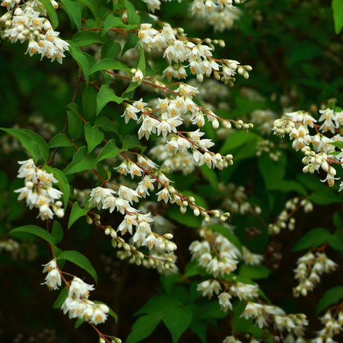 Arbuste A Fleur Blanche En Grappe Journalphoto
