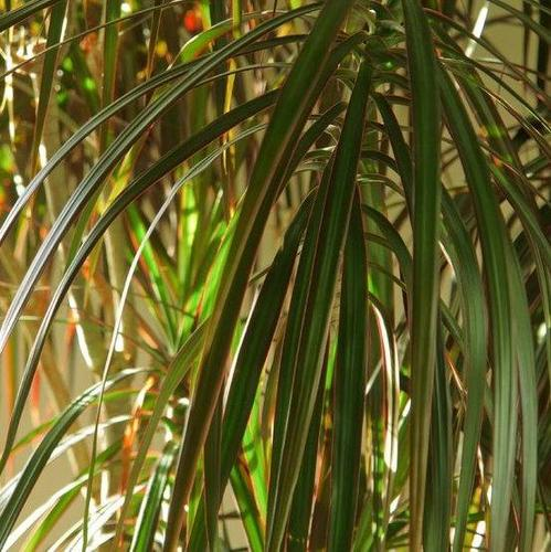 plante verte d'interieur longue feuille fine