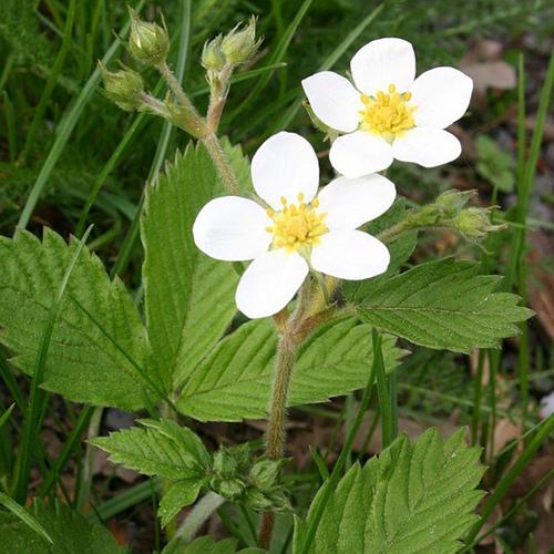 Arbuste fleurs blanches liste ooreka - Plante a fleur jaune 6 lettres ...