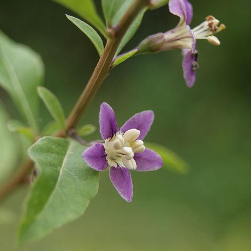 Arbuste à fleurs violettes : liste - Ooreka