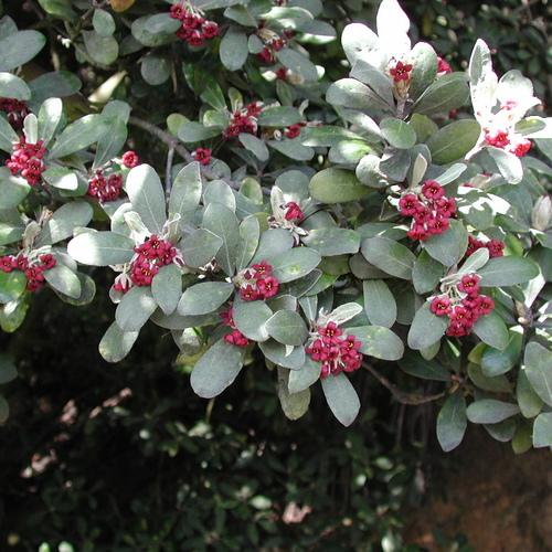 arbuste à fleurs rouges : liste - ooreka