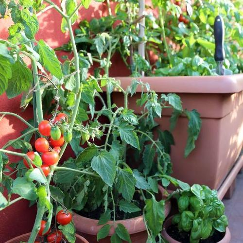 Cultiver des tomates en pot