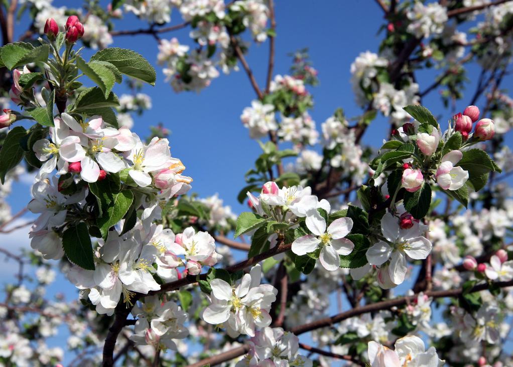Pommier article sur les polinisateurs au jardin de soules paysages