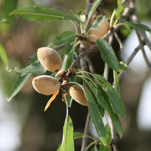 Arbre pour terrasse liste ooreka - Fruit de l amandier ...