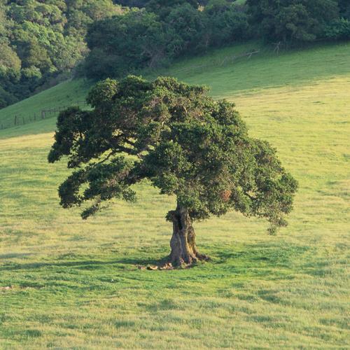 Arbre de jardin liste ooreka for Arbre feuillage persistant pour petit jardin