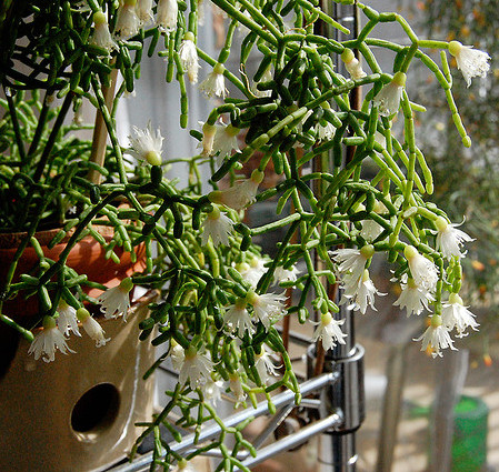 Les cactus d 39 int rieur ooreka for Grande plante d interieur facile d entretien