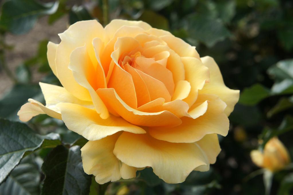 rosier amber queen origines caract ristiques plantation ooreka. Black Bedroom Furniture Sets. Home Design Ideas