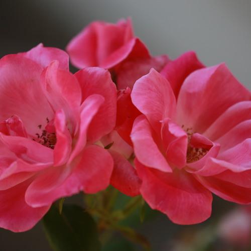 Faire des fleurs cristallisées