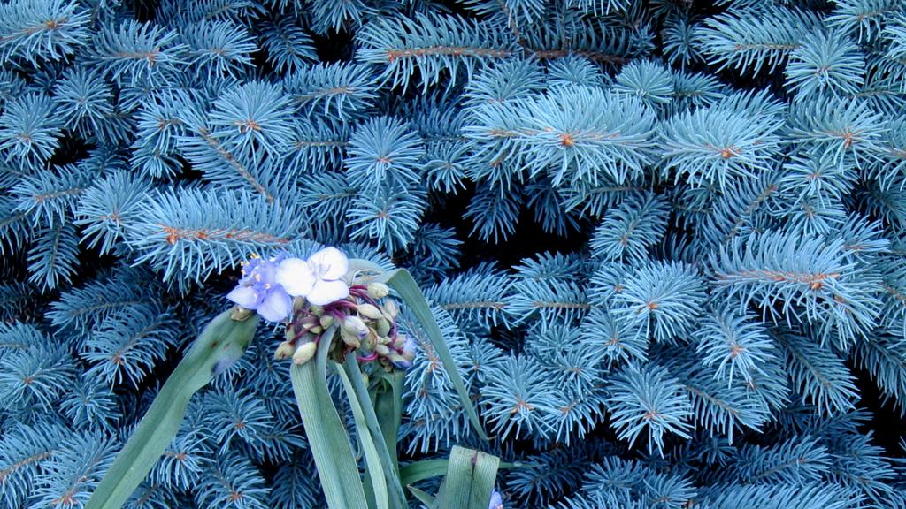 sapin bleu : origine, variétés, plantation, entretien - ooreka